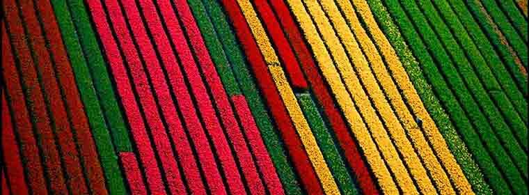 tulip-fields-amsterdam
